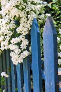 300315-blue-fence-with-white-flowers